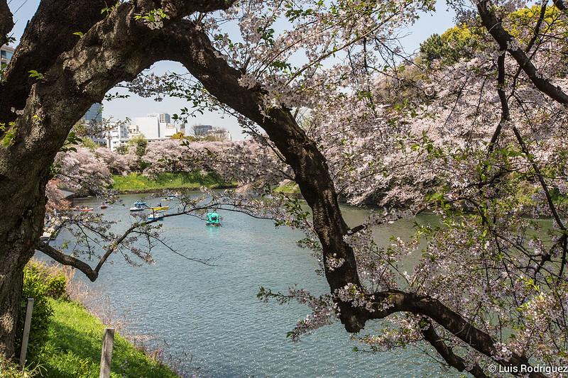Sakura-Chidori-ga-Fuchi-Palacio-Imperial-32