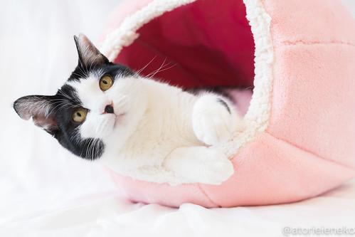 アトリエイエネコ Cat Photographer 27312841539_bbb7155317 1日1猫!里親様募集中のサラちゃんです♬ 1日1猫!  猫 保護猫 ニャンとぴあ cat