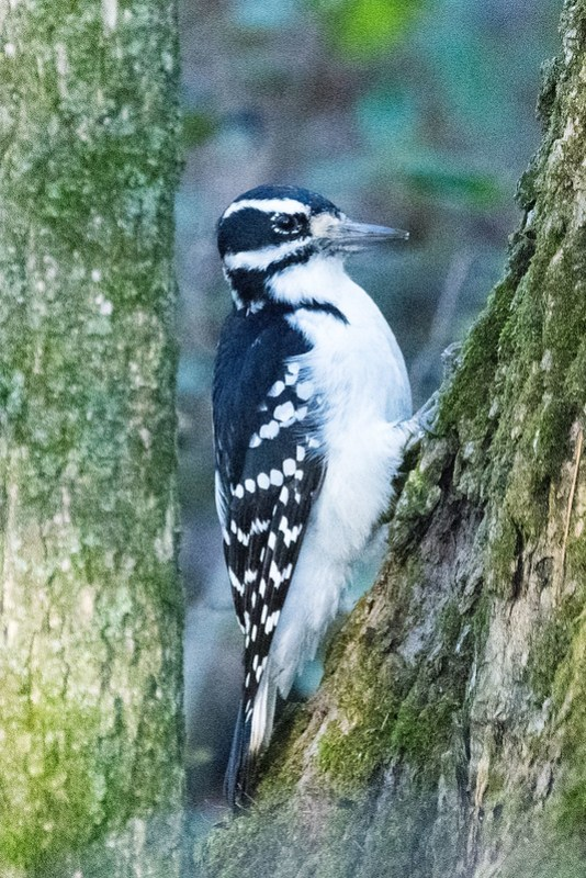 _8500593 Hairy Woodpecker