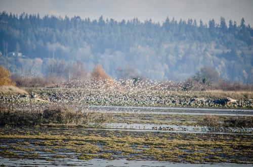 Skagit Birds and Sunset-7