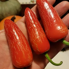 A handful of heat... Ring of Fire Habaneros