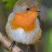 Robin Red Breast, Cornwall