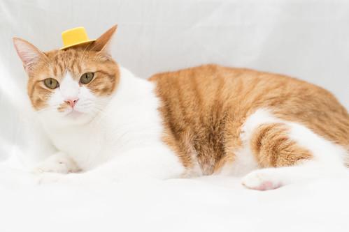 アトリエイエネコ Cat Photographer 38087209115_680308a8a9 1日1猫! 保護猫カフェねこんチ うっちゃん 1日1猫!  猫 保護猫カフェねこんチ 保護猫 cat