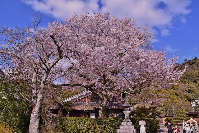 Japanese cherry blossom in the Spring