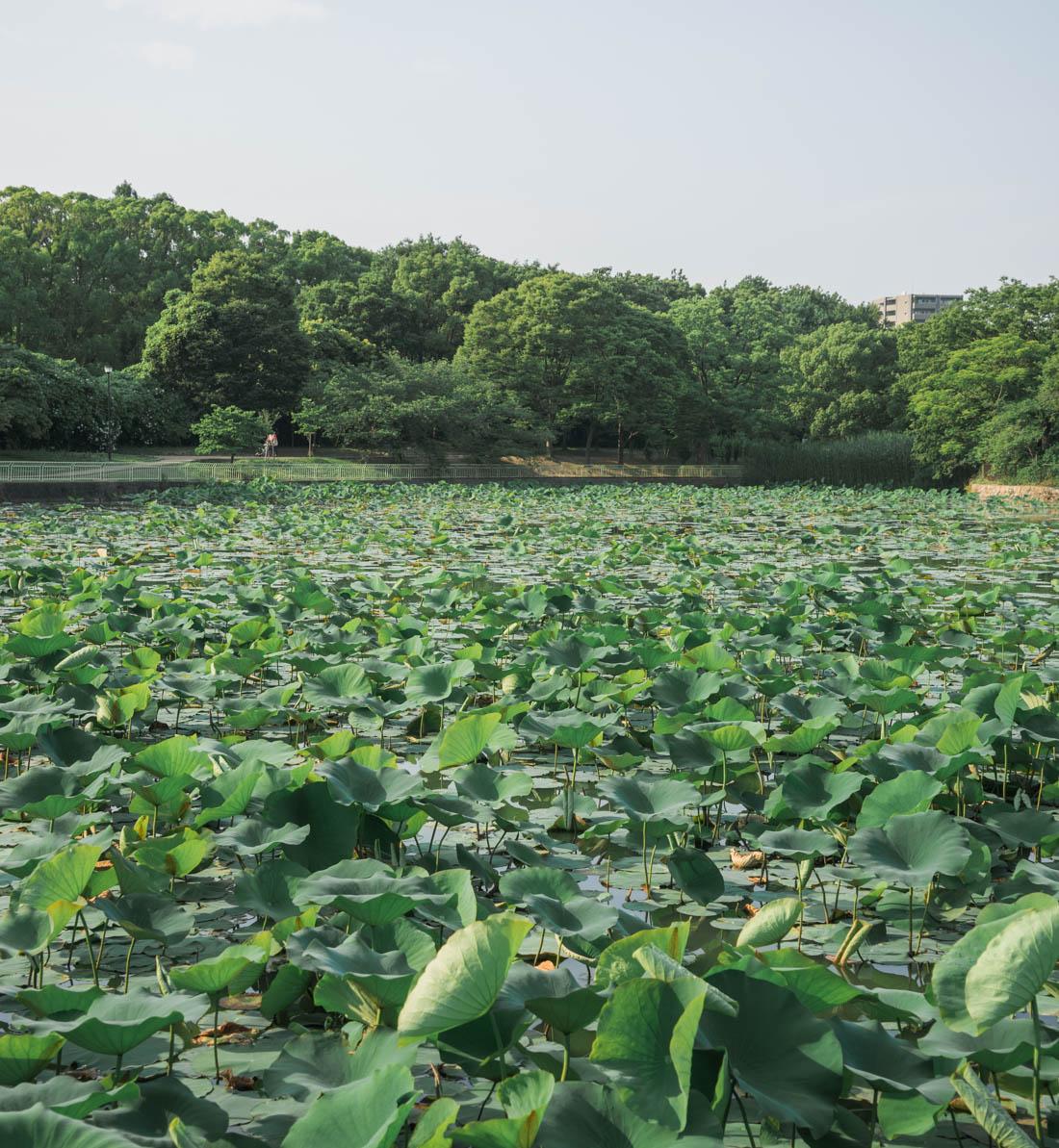 Nagai Park Water Lilies
