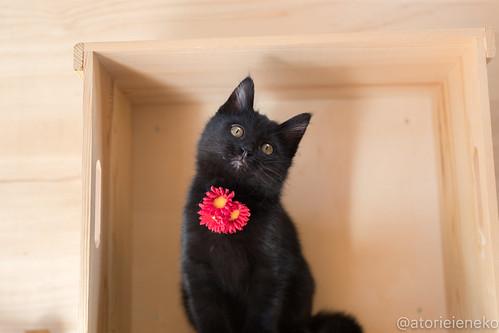 アトリエイエネコ Cat Photographer 38949537471_cd5529430d 1日1猫!はちお君のトライアル決定♬ 1日1猫!  里親様募集中 猫 子猫 大阪 cat