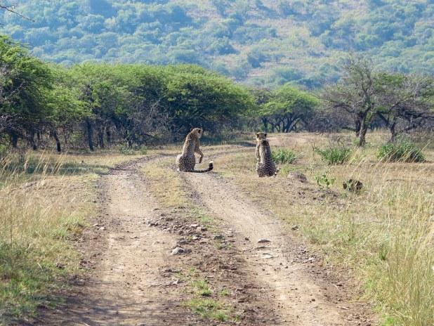 Guepardos en África