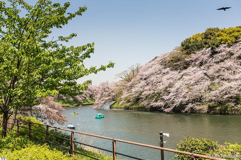 Sakura-Chidori-ga-Fuchi-Palacio-Imperial-34
