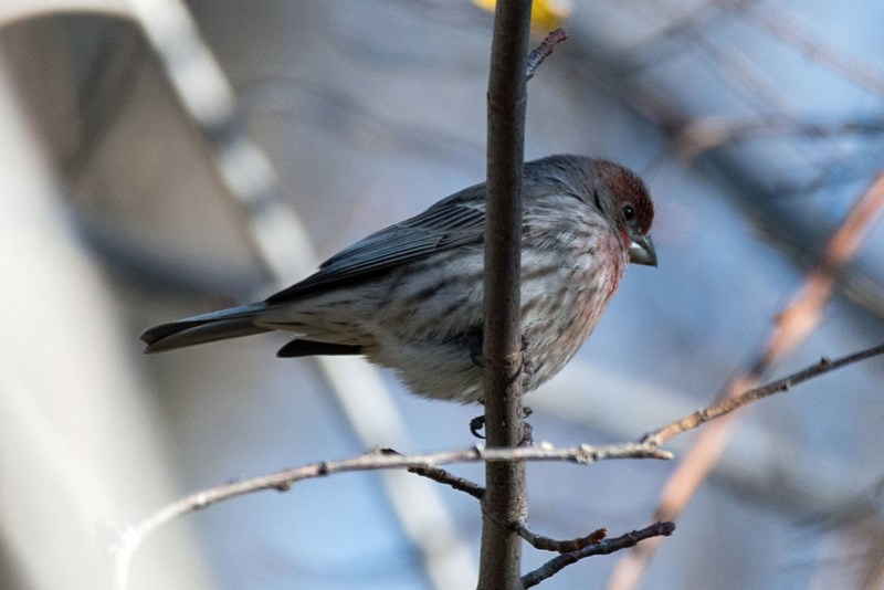 _8500913 House Finch
