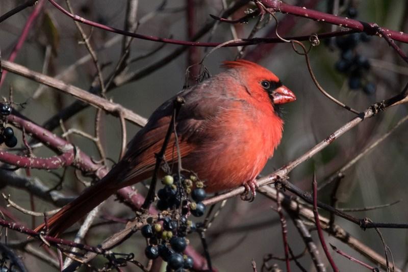 _8500987 Northern Cardinal (m)