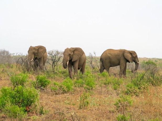 Elefantes en un safari