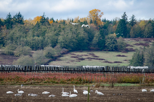 Skagit Valley Birds-13