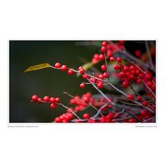 Winterberry, Gatineau Park