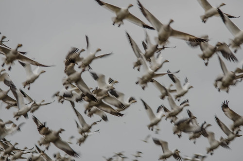 Migrating Snow Geese-3