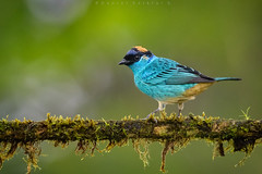 Tangara de Nuca Dorada. Tangara ruficervix. Golden-naped Tanager