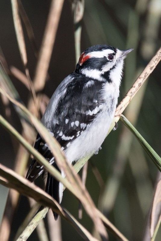 _8500944 Downt Woodpecker