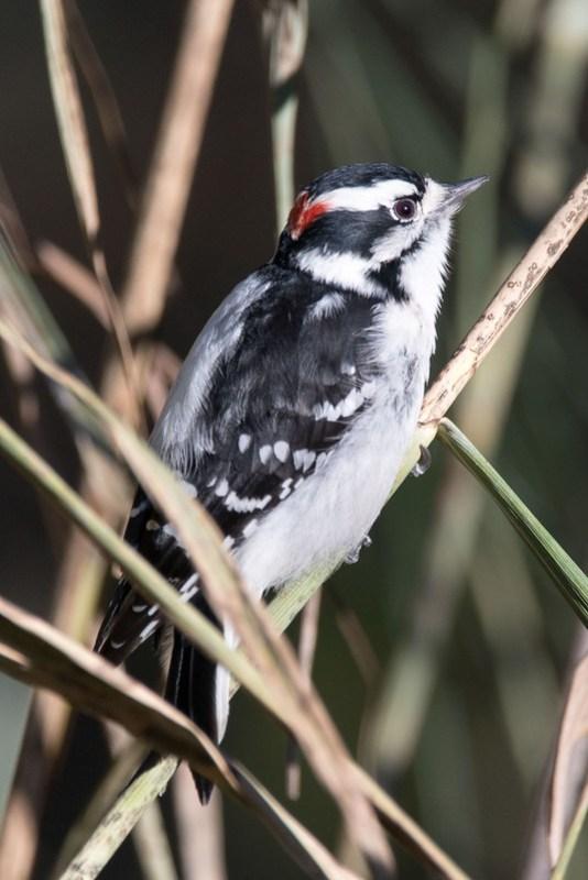 _8500944 Downt Woodpecker