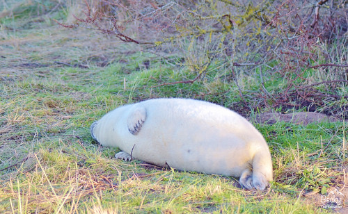 Grey seal at Donna Nook Nature Reserve - Donna Nook Seal Colony