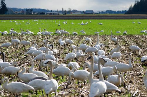 Skagit Valley Birds-34
