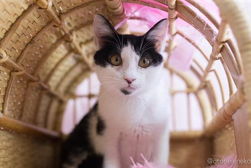 アトリエイエネコ Cat Photographer 38711634544_bab431f7b7 1日1猫!高槻ねこのおうち 里親様募集中のジョンくん 1日1猫!  高槻ねこのおうち 里親様募集中 猫写真 猫 子猫 写真 保護猫 スマホ カメラ Kitten Cute cat