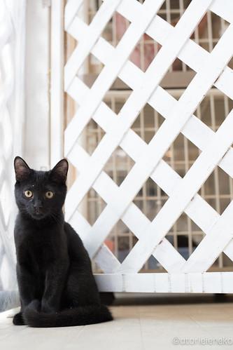アトリエイエネコ Cat Photographer 39420446001_4cf6808e38 NPO法人 東京キャットガーディアン