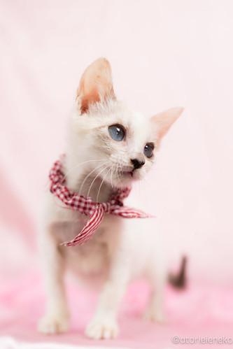 アトリエイエネコ Cat Photographer 27642852429_3d06ef3e7e 1日1猫!高槻ねこのおうち 小雪ちゃん 1日1猫!  高槻ねこのおうち 猫写真 猫 子猫 写真 保護猫 スマホ カメラ cat
