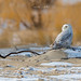 Snowy Owls of New Jersey | 2017 - 16