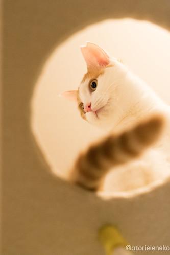 アトリエイエネコ Cat Photographer 38827936534_bf06122423 猫カフェ みーちゃ・みーちょ