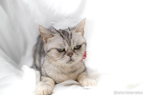 アトリエイエネコ Cat Photographer 38225776135_99d1cb68c5 1日1猫! 高槻ねこのおうち アンジーちゃん 1日1猫!  猫 保護猫 cat