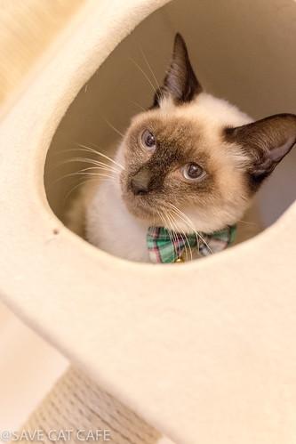 アトリエイエネコ Cat Photographer 24522070467_80c5a69a26 SAVE CAT CAFE