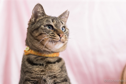 アトリエイエネコ Cat Photographer 27642598379_177b460e62 1日1猫!高槻ねこのおうち 里親様募集中のめあこちゃんです♬ 1日1猫!  高槻ねこのおうち 里親様募集中 猫写真 猫 写真 保護猫 Kitten Cute cat