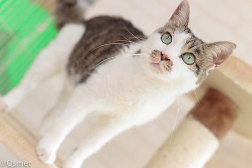 アトリエイエネコ Cat Photographer 25517486828_de34389d0b シェルター型幸せ探し猫カフェQsmet(くすめっと)