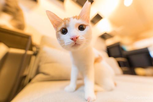 アトリエイエネコ Cat Photographer 25666173988_fceaa9d622 猫カフェ みーちゃ・みーちょ