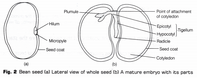 Cbse Class 10 Science Lab Manual Dicot Seed A Plus Topper