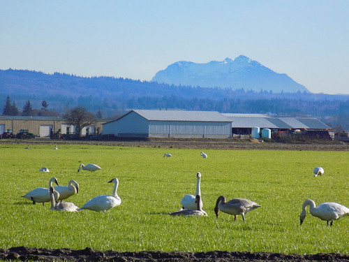 Skagit Bird Watching-6
