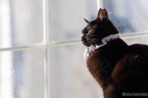 アトリエイエネコ Cat Photographer 38538253660_5b055e1a86 1日1猫!高槻ねこのおうち 里活中のねこたにさん♪ 1日1猫!  黒猫 高槻ねこのおうち 里親様募集中 猫写真 猫カフェ 猫 子猫 大阪 初心者 写真 保護猫 Kitten Cute cat