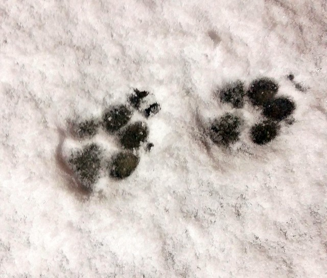 Paw prints in the snow!
