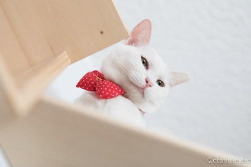 アトリエイエネコ Cat Photographer 40302536702_f8c4acc069 1日1猫!高槻ねこのおうち 里親様募集中のゆきちゃん♪ 1日1猫!  高槻ねこのおうち 里親様募集中 白猫 猫写真 猫 子猫 大阪 写真 保護猫 カメラ Kitten Cute cat