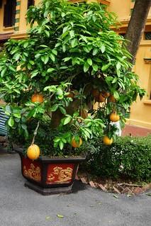 Massive grapefruits