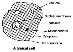 NCERT Solutions for class 8 Science Cell Structure and