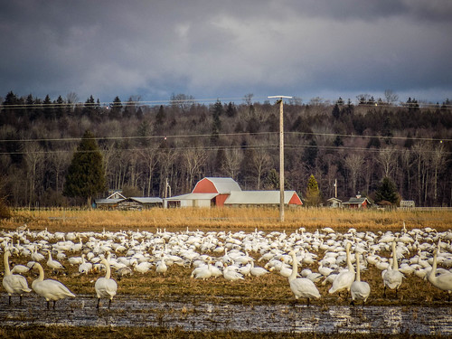 Skagit Snow Geese and Trumpeter Swans-001