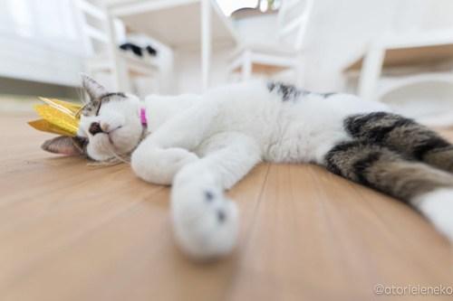 アトリエイエネコ Cat Photographer 40042890232_db3725c7e8 1日1猫!保護猫カフェねこんチ 働き者のサスケくん 1日1猫!  猫写真 猫 子猫 大阪 写真 保護猫カフェねこんチ 保護猫カフェ 保護猫 カメラ Kitten Cute cat