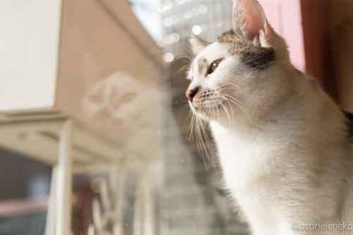 アトリエイエネコ Cat Photographer 25585133117_352d858fec 1日1猫!保護猫とカフェニャンとぴあ 撮影拒否中のタラちゃん♪ 1日1猫!  里親様募集中 猫写真 猫 子猫 大阪 写真 保護猫カフェ 保護猫 ニャンとぴあ スマホ おおさかねこ倶楽部 Kitten Cute cat