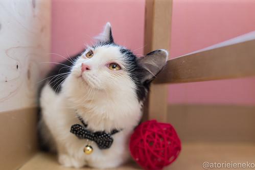 アトリエイエネコ Cat Photographer 27903351699_1a7039254c 1日1猫!おおさかねこ倶楽部 里親様募集中のルンルンちゃんです♬ 1日1猫!  里親様募集中 猫写真 猫 子猫 大阪 初心者 写真 保護猫 ニャンとぴあ スマホ カメラ おおさかねこ倶楽部 Kitten Cute cat
