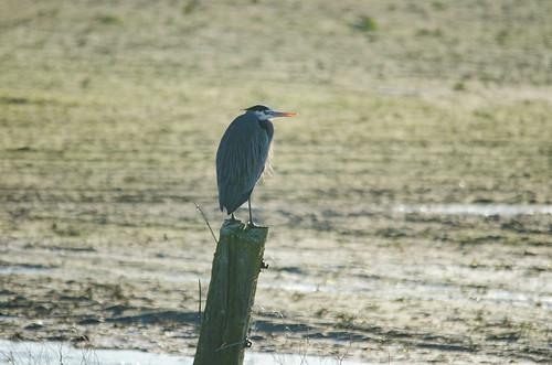 Skagit Morning Birds-20