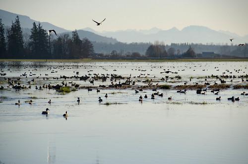 Skagit Morning Birds-7