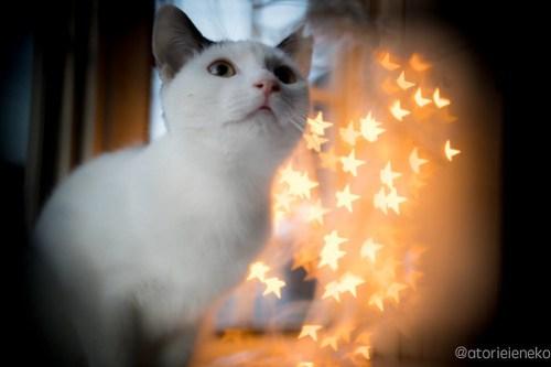 アトリエイエネコ Cat Photographer 38530412630_a340e63d0f 1日1猫!高槻ねこのおうち 里親様募集中のかっぱちゃん♪ 1日1猫!  高槻ねこのおうち 里親様募集中 猫写真 猫 子猫 大阪 写真 保護猫 ハチワレ Kitten Cute cat