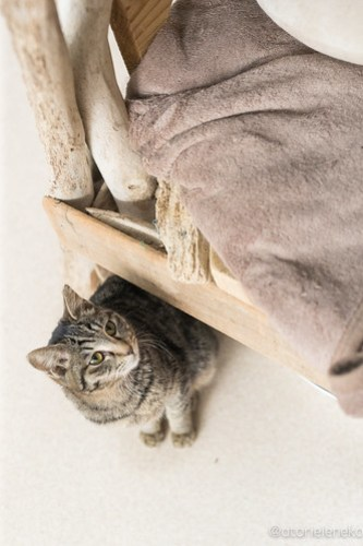 アトリエイエネコ Cat Photographer 39459281255_cf65f5bef5 1日1猫!猫カフェきぶん屋さんに行ってきました♪(2/3) 1日1猫!  里親様募集中 猫写真 猫カフェ 猫 子猫 大阪 兵庫 保護猫カフェ 保護猫 カメラ きぶん屋 Kitten Cute cat