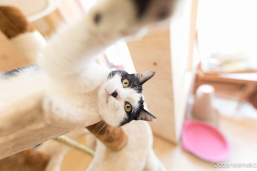 アトリエイエネコ Cat Photographer 39560185755_b9b160e6c8 1日1猫!保護猫とカフェ ニャンとぴあ 里親様募集中のサラちゃん♪ 1日1猫!  里親様募集中 猫写真 猫カフェ 猫 子猫 大阪 写真 保護猫カフェ 保護猫 ハチワレ ニャンとぴあ スマホ カメラ おおさかねこ倶楽部 Kitten Cute cat