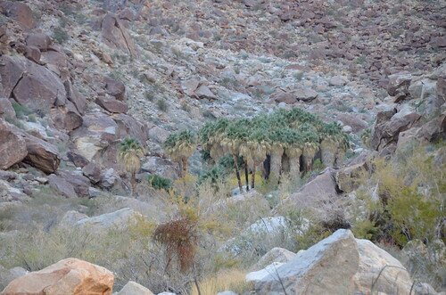 Borrego Springs - Palms from far